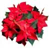 Naklejka ścienna dekoracyjna D262 gwiazda betlejemska kwiat