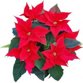 Naklejka ścienna dekoracyjna D263 gwiazda betlejemska kwiat
